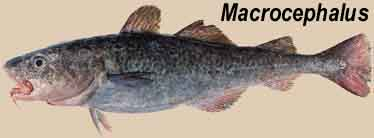 Bacalhau Macrocephalus