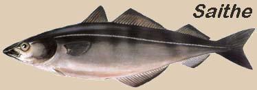 Bacalhau Saithe